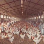 i polli